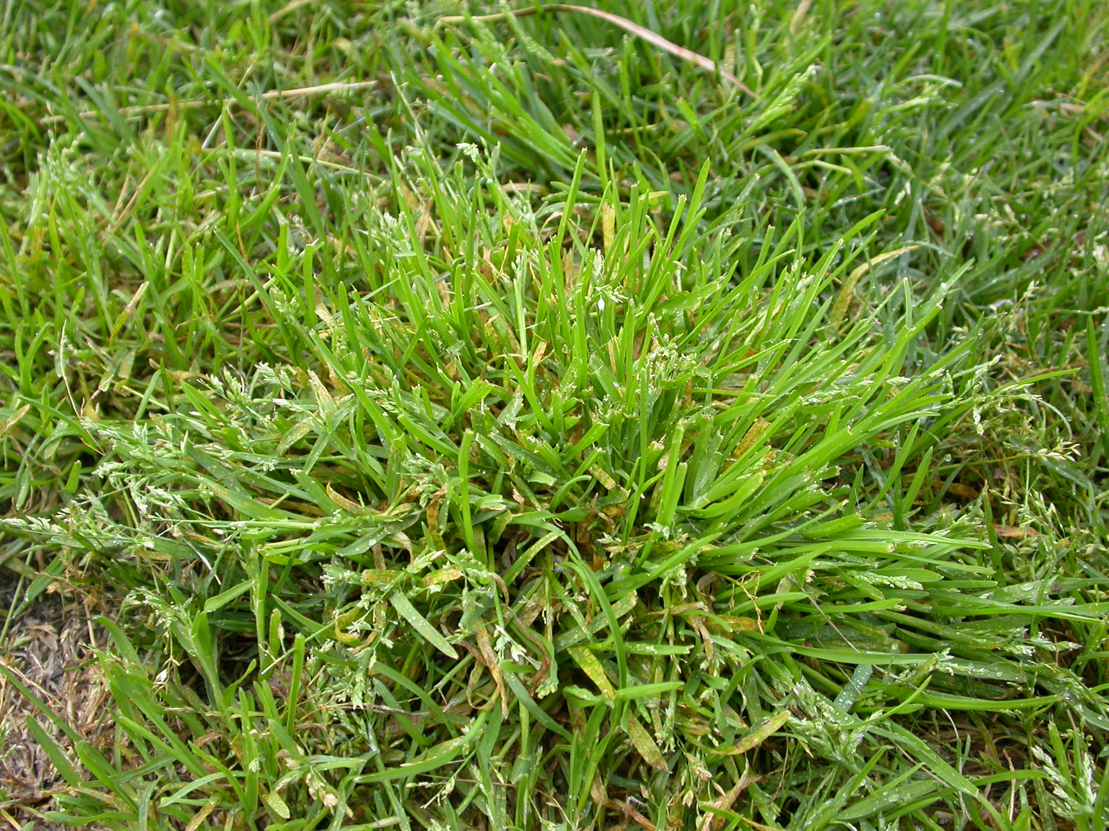 Image Result For Types Of Turf Graustralia